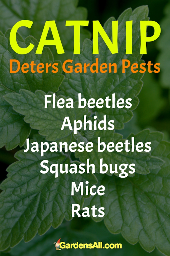 Caution: Keep in mind that catnip likes to spread, and it's attractive to cats, especially if you live in an area with a lot of them. #containergarden #garden #hom#Vegetables #Flowers #For Beginners #Garlic #Ideas #Pots #Patio #FullSun #Herbs #Fruit #Shade #DIY #Design #Containers #Landscape #Tomatoes #Indoor #Cheap #Planters #Creative #Front Door #Porch #Tips #Outdoor