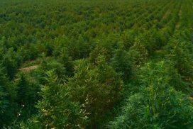 hemp, growing hemp, hemp farm, WV hemp