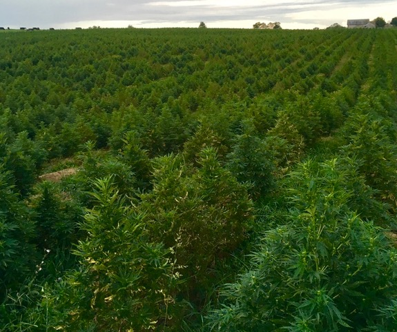 hemp, growing hemp, hemp farm, WV hemp