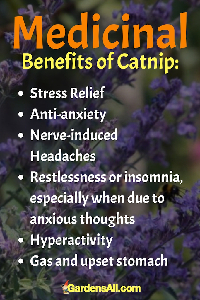 Are you seeing the trend here? Catnip calms us. It helps to soothe our anxious thoughts and smooth over the symptoms that stress can bring. #Remedies #ToGrow #Garden #Spices #HealthBenefits #Recipes #Photography #List #ForPain #Wild #Uses #HowToMake #ForBeginners #Tea #Tips #Flu #catnip #catnipbenefits