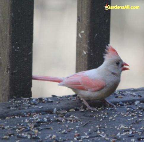 White cardinal bird eating bird seed on deck in woods. Image by GardensAll.com #RareWhiteBird #WhiteCardinal #AlbinoCardinal #GardensAll #UnusualCardinal #Cardinals