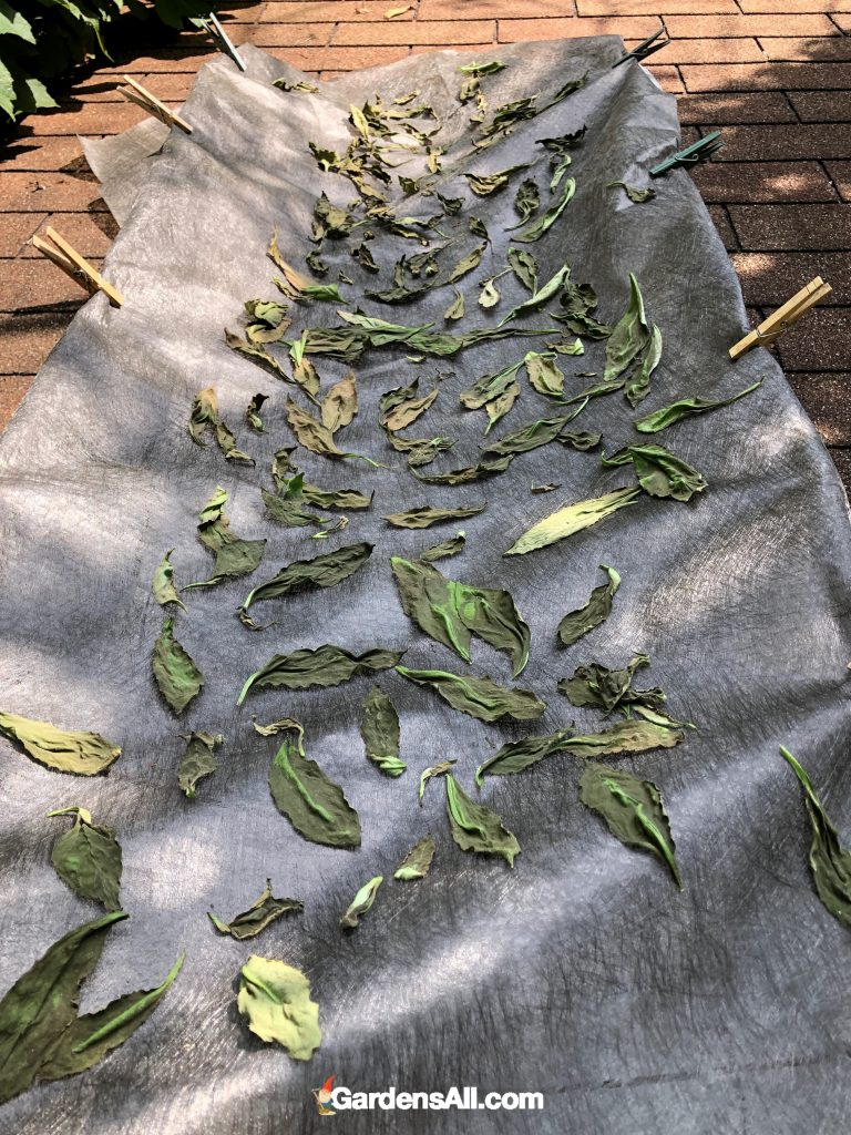 DIY homemade drying rack for drying longevity spinach - Gynura procumben - leaves for tea and powder.