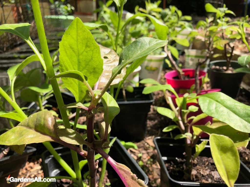 Longevity spinach plants and seedlings. GardensAll.com