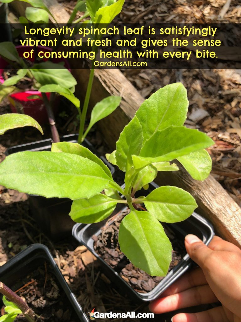 Gynura leaves are very slightly fuzzy textured and taste somewhat similar to malabar spinach. #LongevitySpinach #Spinach #VegetableGarden #NaturalRemedies #MedicinalPlantsAndHerbs #NaturalGardenPestControl #Indoor #HowToGrow