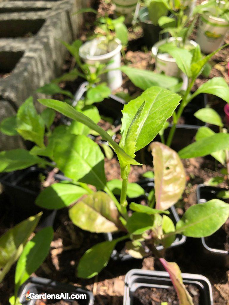 Longevity spinach plants, gynura procumbens plants.