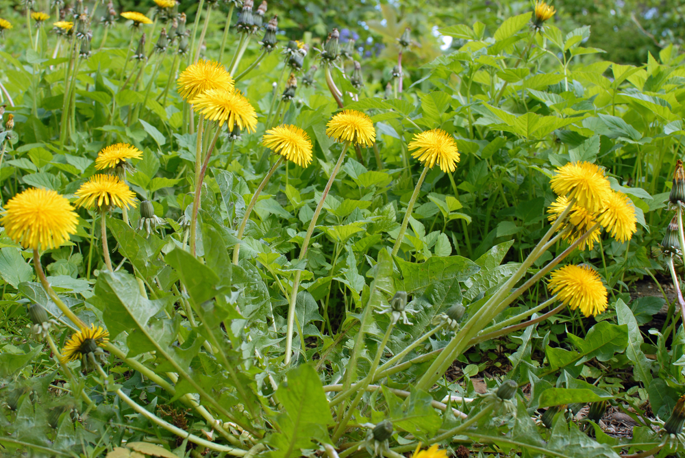 Healthy, edible dandelions