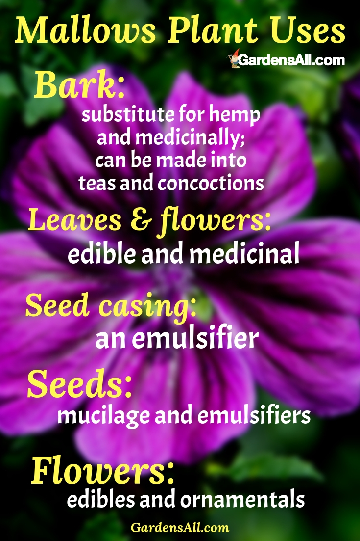 """Most mallows are completely edible with medicinal properties. Some are more mucilaginous than others, such as the marsh mallow and rose mallow. These unpretentiously prolific """"wasteland"""" plants have many uses and benefits. #MarshMallowPlant #MallowPlant #ForPain #HealthBenefits #Garden #Tea #Recipes #NaturalMedicine #MedicinalPlantsAndHerbs #NaturalRemedies #Remedies #HomeMade #HowToMake #MarshMallowPlantUses"""