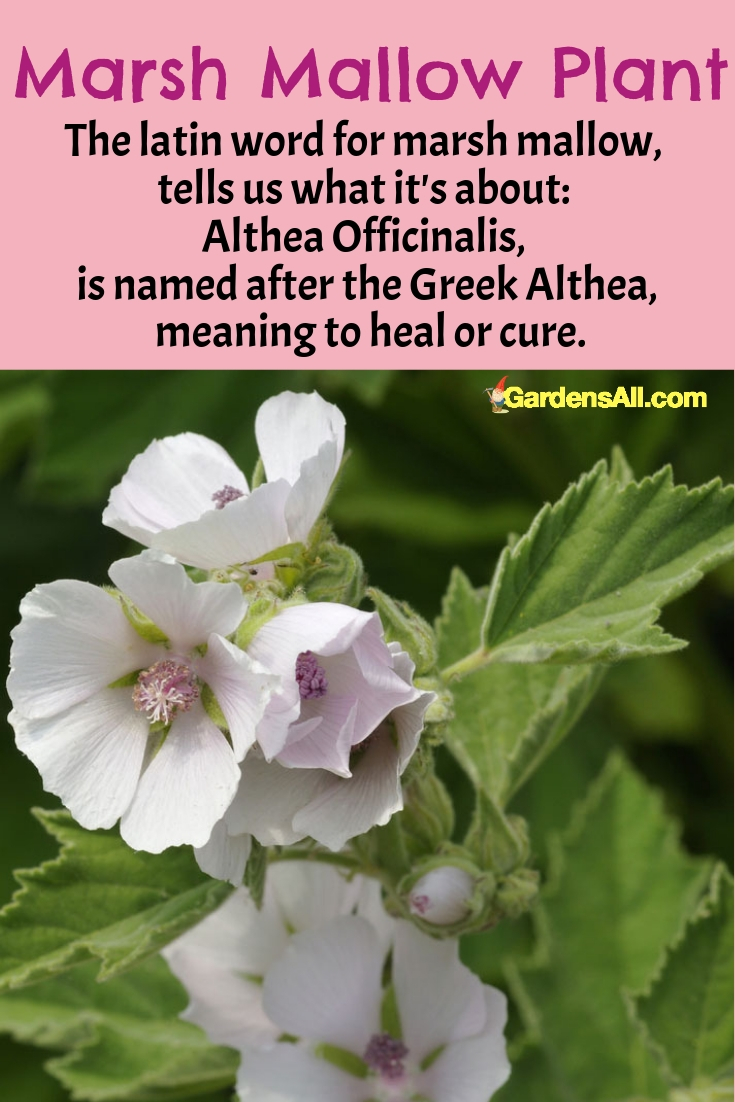 The Marsh Mallow Plant - The latin word for marsh mallow, tells us what it's about: Althea officinalis, is named after the Greek Althea, meaning to heal or cure. #MarshMallowPlant #MallowPlant #ForPain #HealthBenefits #Garden #Tea #Recipes #NaturalMedicine #MedicinalPlantsAndHerbs #NaturalRemedies #Remedies #HomeMade #HowToMake