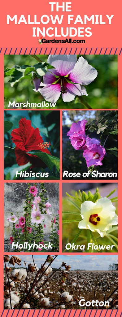 The mallow family contains nearly 200 genera (a genus is a group of closely related plants within a family, and genera is plural of genus). These include Alcea, Althea, Malva, Hoheria, Hibiscus, and Gossypium, along with more than 2000 species (specific plants within each genus). #Vegetable #Ideas #Raised #Flower #Design #Container #Backyard #Tips #Herb #Landscaping #InPots #Indoor #Rose #Organic #Shade #Boxes #Urban #Pallet #Planters #Outdoor #wintergarden #summergarden #fallargen #springgarden #verticalgarden #gardentips #DIY