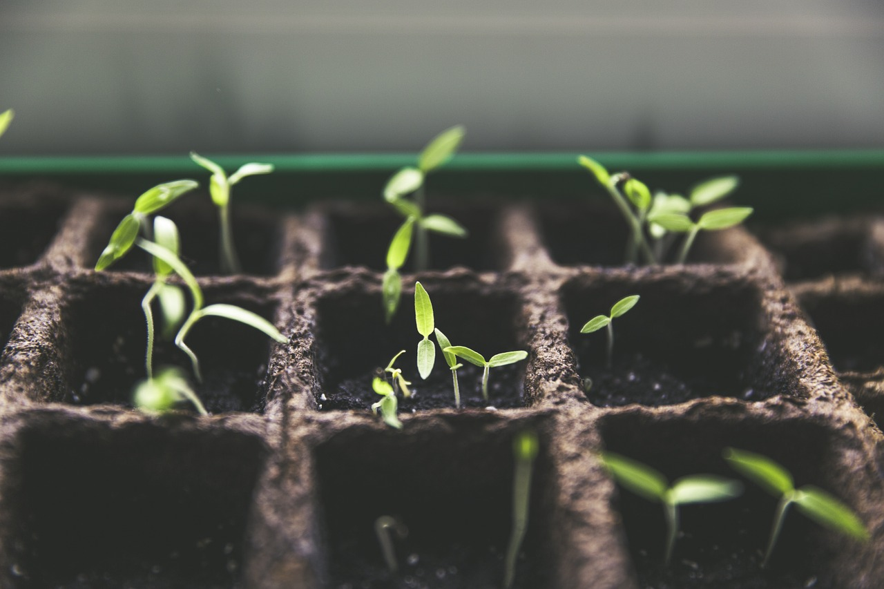 How to grow tomatoes from seeds.