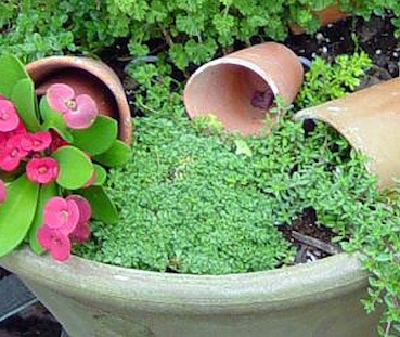 Elfin thyme - delightful edible ground cover for pots or landscape. #EdibleGroundCover #Herbs