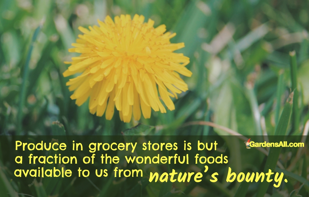 Produce in grocery stores is but a fraction of the wonderful foods available to us from nature's bounty. #Dandelion #DandelionGreens #DandelionBenefits #BenefitsOfDandelionTea #DandelionBenefitsTea #DandelionTea #DandelionForTea #DandelionTeaBenefits #Plant #Flowe#Nature #Yards #Herbs#HealthBenefits #Perennials #Recipe #Remedies #NaturalRemedies #DandelionTea #Tea #Food #Vegans #Garden #Gardening #Growing #Landscaping #Wine #Greens #Videos