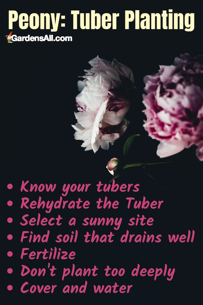 Because planting tubers is the preferred method, we are focusing on growing peonies from tubers. Here's how you can create optimal peony growing conditions in your own garden. #Peones #Garden #Wedding #Bouquet #Decoration #Tattoo #Wallpaper #Drawing #Growing #Landscaping #Centerpiece #Hydrangeas #Pink #Arrangement #Photography #Meaning #White #Red #Painting #Decor #Background #Coral #Bush #Blush #Peach #Purple #Colors #Yellow #Blue #Aesthetic #Flower