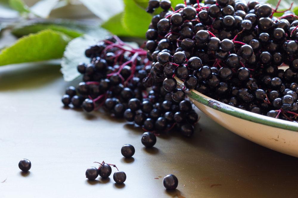 Immune Boosting, Super Food, Sambucus canadensis, elderberries for immunity and more. #Elderberries #Elderberry #FoodsForImmunity #ImmuneBoosting #NaturalRemedies #SambucusCanadensis, #SambucusNigra #NaturalImmunity