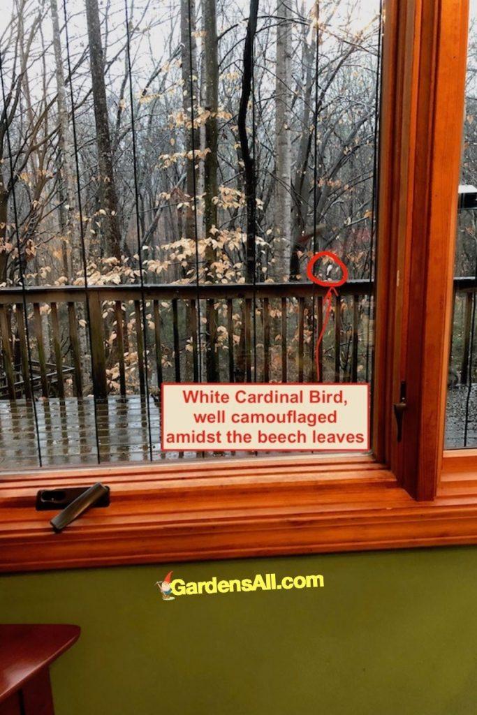 WELL CAMOUFLAGED WHITE CARDINAL BIRD:White Cardinal Bird on limb, well camouflaged amidst beech leaves. Image by GardensAll.com  #RareWhiteBird #WhiteCardinal #AlbinoCardinal #GardensAll #UnusualCardinal #Cardinals