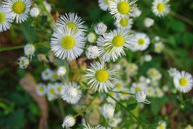 fleabane wildflowers, white wildflowers with yellow center, daisy-like wildflowers