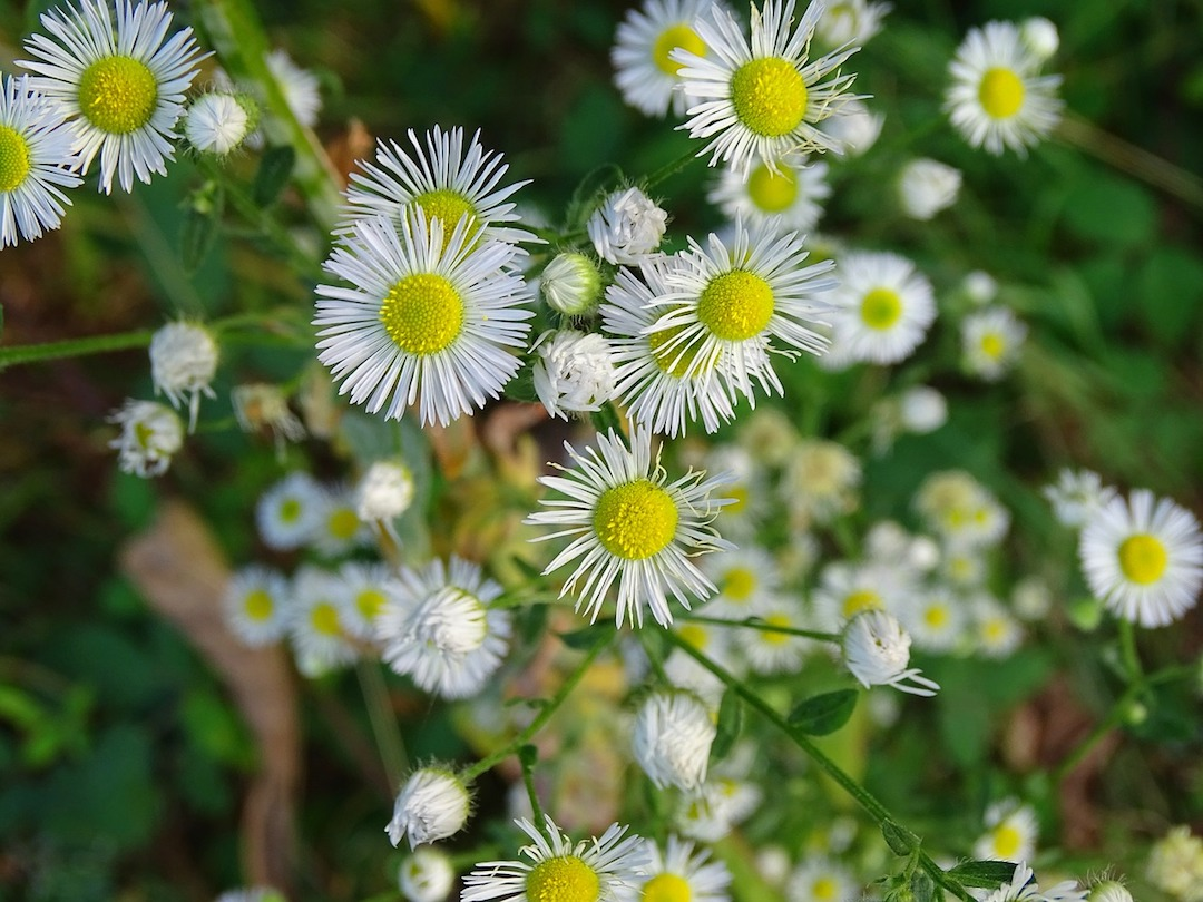 fleabane wildflowers, white wildflowers with yellow center, daisy-like wildflowers