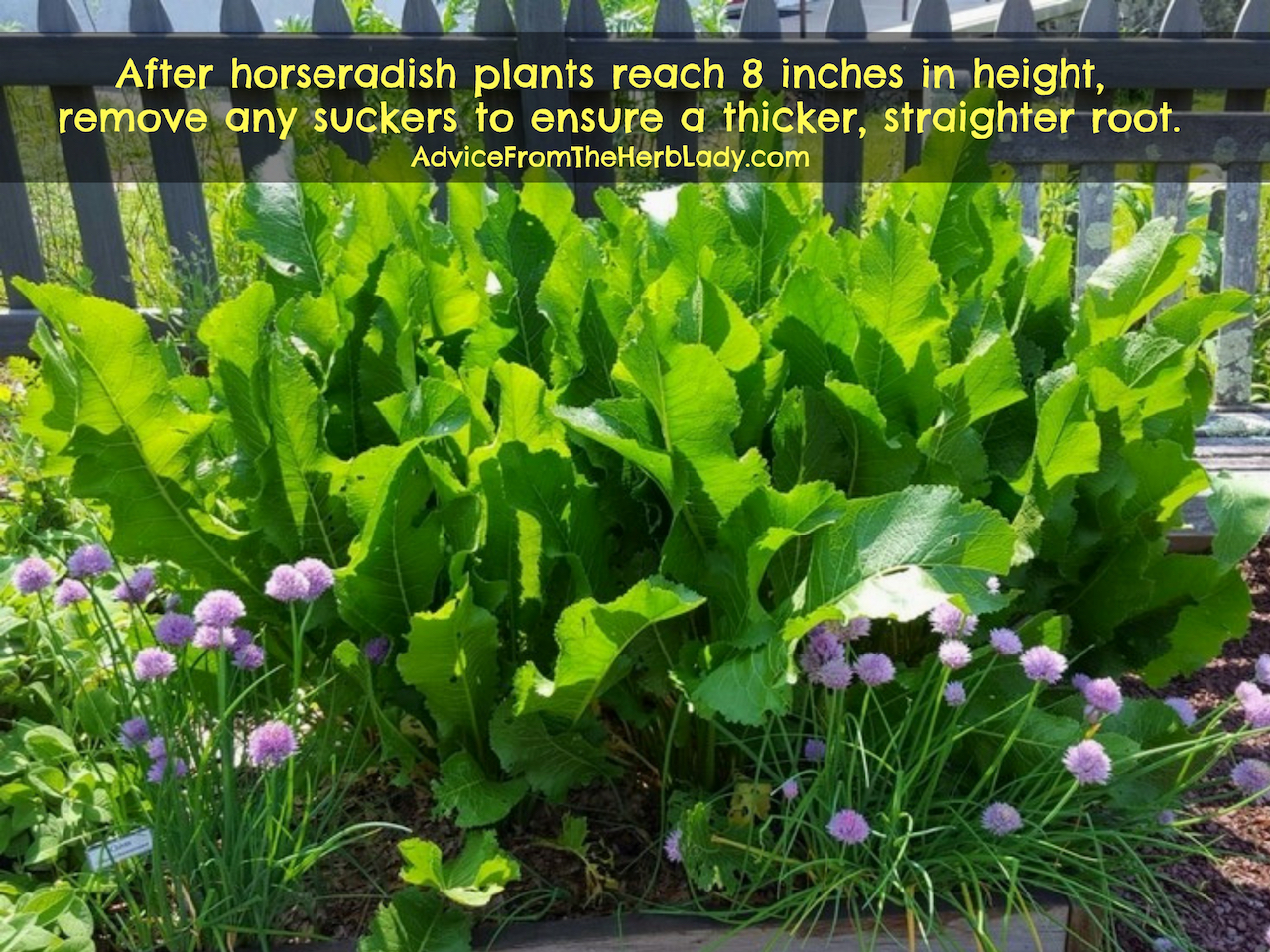After horseradish plants reach 8 inches in height, remove any suckers to ensure a thicker, straighter root. #Horseradish #Vegetables #HowToGrow #OrganicGardening #Tips #Backyard #ContainerGardening #HealthBenefits