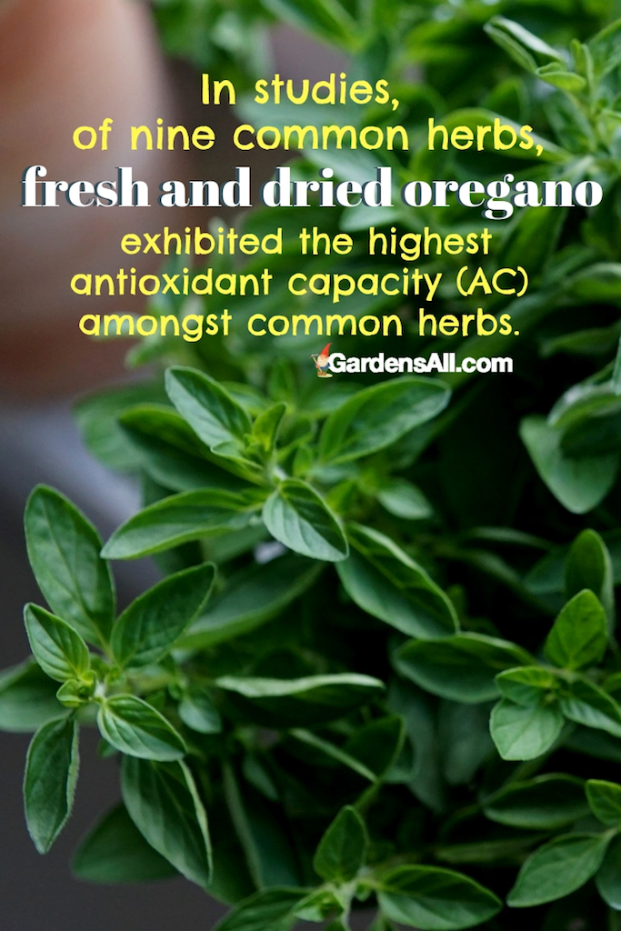 In studies, of nine common herbs, fresh and dried oregano exhibited the highest antioxidant capacity (AC) amongst common herbs. #KitchenGardenIdeas #NaturalMedicine #MedicinalHerbs #MedicinalPlantsAndHerbs #MedicinalHerbsAndTheirUses #ImmuneBooster #Herbs
