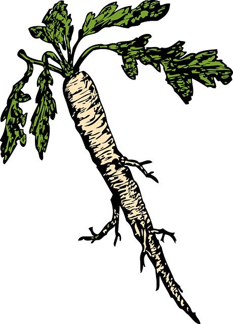 horseradish sketch, horseradish root drawing