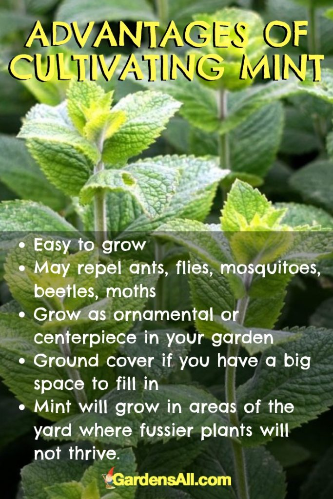 Mint is absolutely worth growing! Mint has culinary, nutritious and medicinal benefits that make this plant one to have on hand. #NaturalRemedies #MedicinalHerbs #GrowingMint #NaturalMosquitoRepellent #Catnip #MedicinalHerbsAndTheirUses #Teas #Indoors #Outdoors #Herbs #PestControl