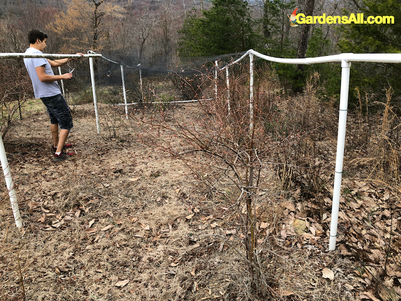 netting to protect blueberries from birds