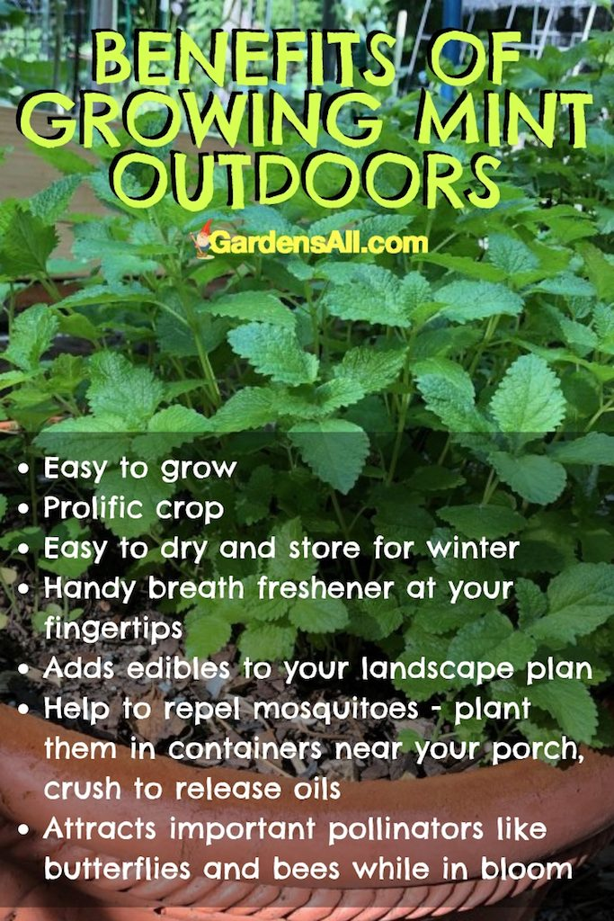 """""""With mint plants, indoors or out, you have a natural breath freshener and palate cleanser at your finger tips."""" #NaturalRemedies #MedicinalHerbs #GrowingMint #NaturalMosquitoRepellent #Catnip #MedicinalHerbsAndTheirUses #Teas #Indoors #Outdoors #Herbs #PestControl"""