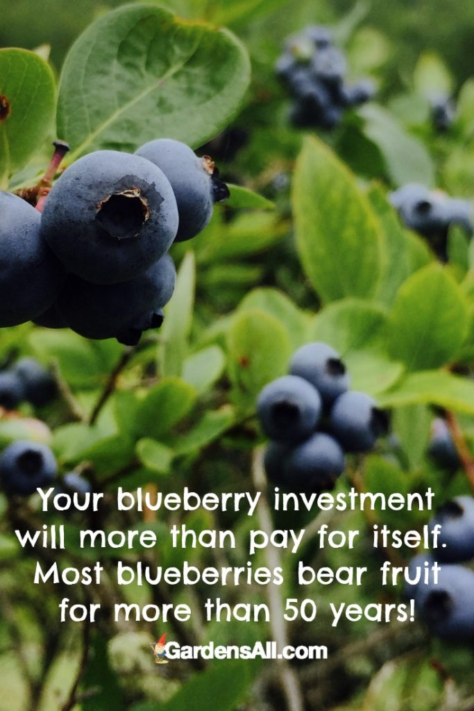 Your blueberry investment will more than pay for itself. Most blueberries bear fruit for more than 50 years! #Blueberry #Blueberries #BlueberryGrowing #HowToGrowBlueberries #PlantingBlueberries #BlueberryHealthBenefits #SpringGardening