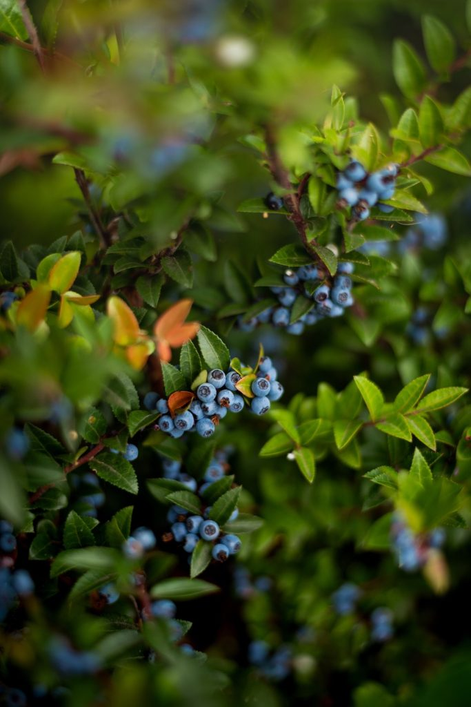 How to Grow Blueberries - a highly nutritious, delicious and beautiful edible landscape plant. #HowToGrowBlueberries #GrowingBlueberries #EdibleLandscape #EasyFruitToGrow