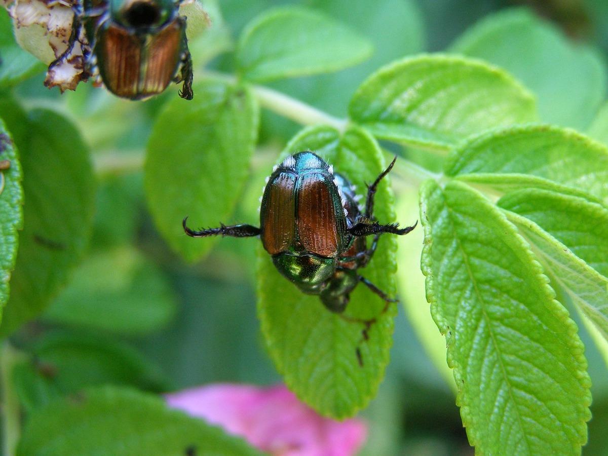battling beetles, Japanese beetles