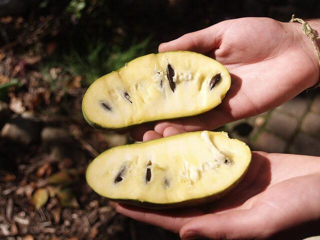 The Paw Paw Fruit Tree - a True American | GardensAll | Fruit