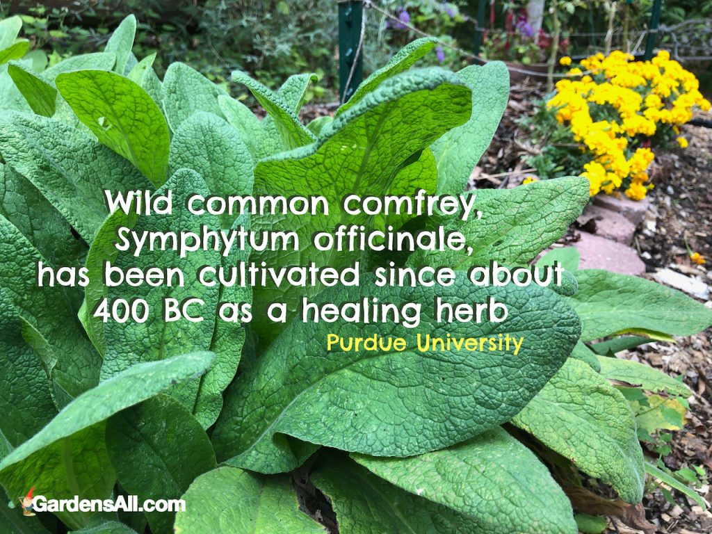 Wild common comfrey, Symphytum officinale, has been cultivated since about 400 BC as a healing herb. #comfrey #plant #gardens #identification #howtogrow #howtouse  #benefits #essentialoils #healingherbs #leaves #howtomake #uses #salve #homeremedies #skincare #herbs #recipe #diy #forbrokenbones #tea #growing #fertilizer #poultice #cream #leaves #flower #forchicken #healingherbs #tincture #oil