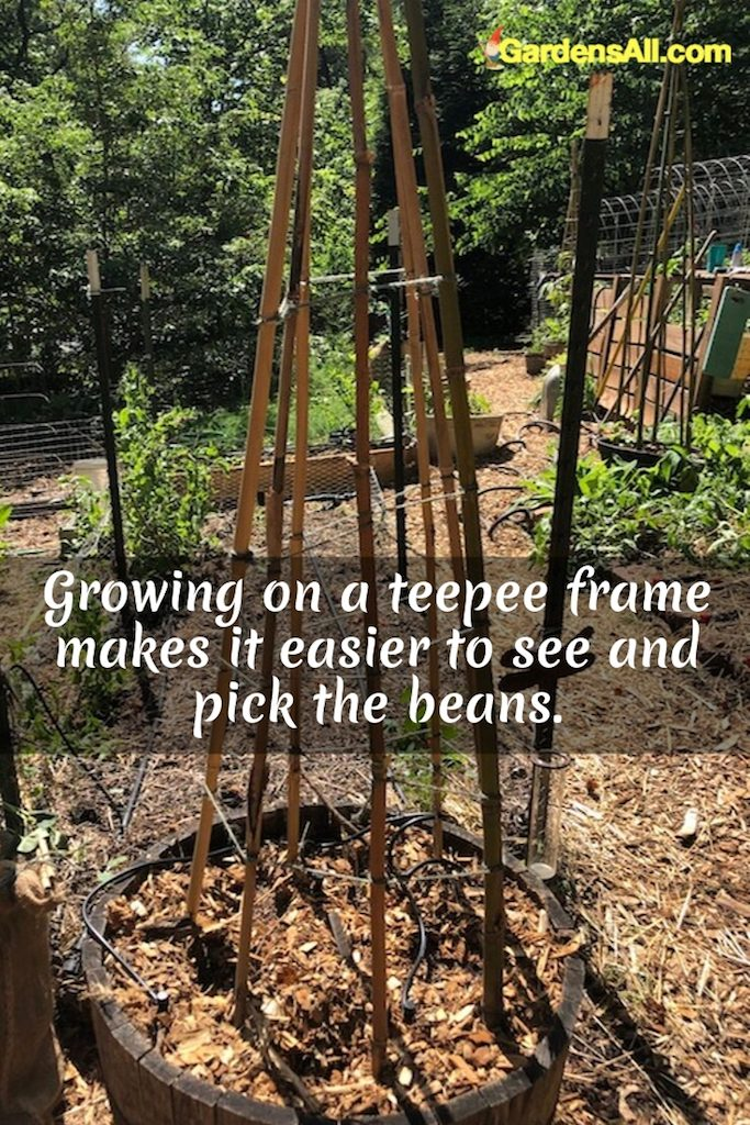 Growing on a teepee frame makes it easier to see and pick the beans. #teepee #bamboo #bean #trellis #pole #frame #howtobuild #diy #garden #green #ideas #runner #bush #raisedbed #fence #climbing #veggiegardens #smallspaces #arch #easy #chickenwire #growing #planting #howtogrow #inpot #wire #vines #vegetables #indoor #videos