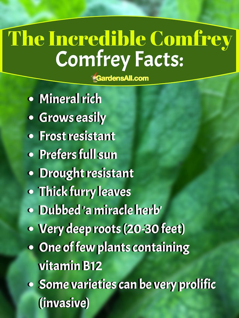 Comfrey is one of the most beneficial plants and weeds you can use for compost tea. #comfrey #plant #gardens #identification #howtogrow #howtouse  #benefits #essentialoils #healingherbs #leaves #howtomake #uses #salve #homeremedies #skincare #herbs #recipe #diy #forbrokenbones #tea #growing #fertilizer #poultice #cream #leaves #flower #forchicken #healingherbs #tincture #oil