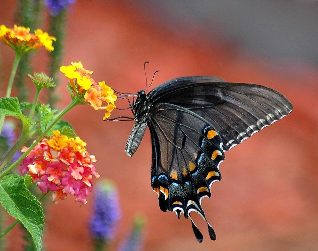 black swallowtail butterfly, lantana flowers, flowers for butterflies