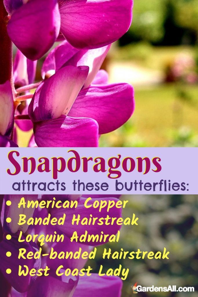 You will love snapdragons because they grow fairly tall and make for great cutting stems for you to enjoy. #Quotes #Butterfly #Garden #Gardening #FlowerGardening #FlowerGardeningIdeas #Yarrow #SnapdragonFlower #PerennialsFlowers #PerennialsWithFlowers #Perennials #Flowers