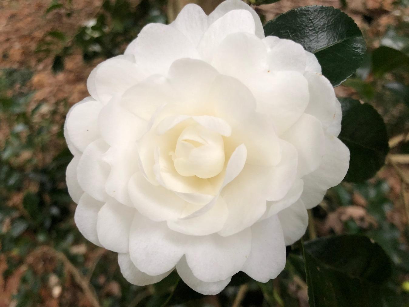 camellia sasanqua; autumn moon camellia sasanqua