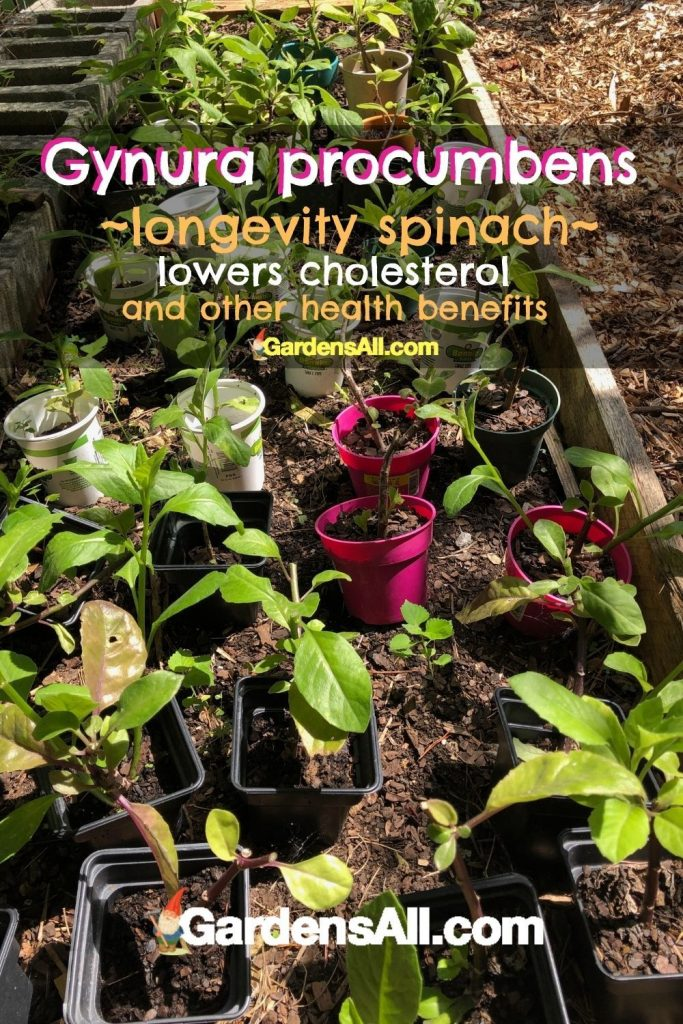 Gynura procumbens-lowers cholesterol-GardensAll.com