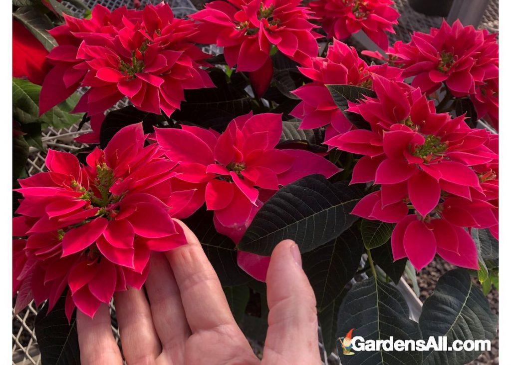 Are Poinsettias Poisonous Gardensall
