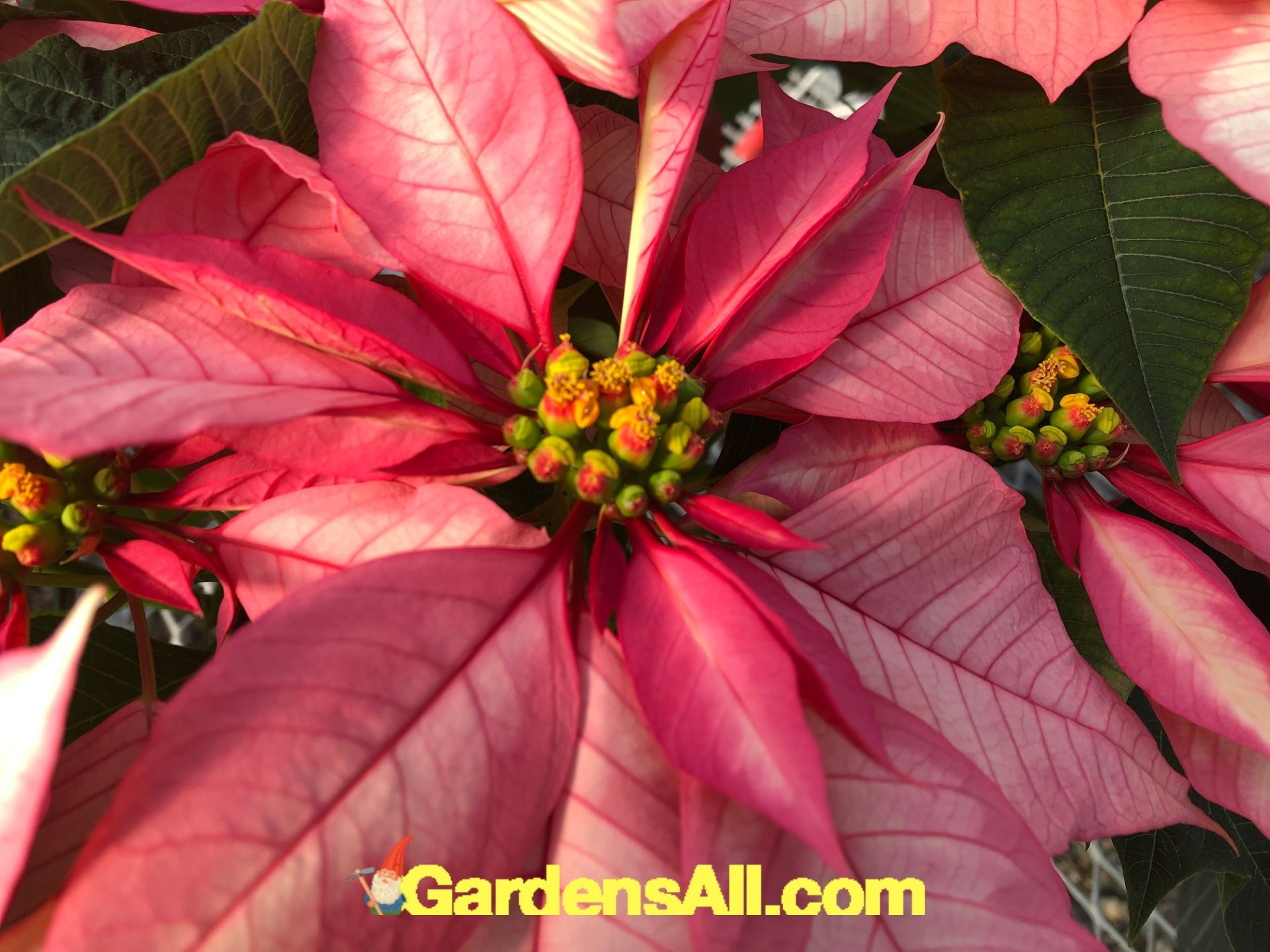 poinsettia flowers, poinsettia bract, poinsettia leaves