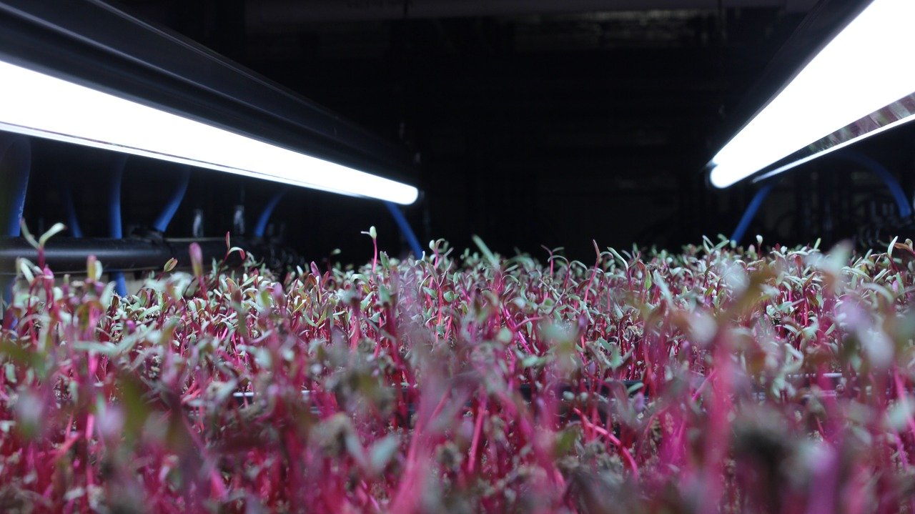 how-to-grow-microgreens, microgreens