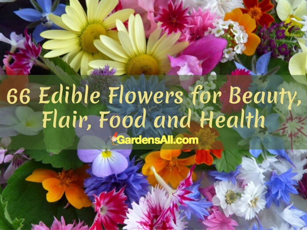 If you're looking for an edible flowers list, we've got one for you. If edible flowers sounds weird to you, you're not alone. #EdibleFlowers #AreFlowersEdible #Flowers #HealthBenefits #Recipes #Edible #Garden
