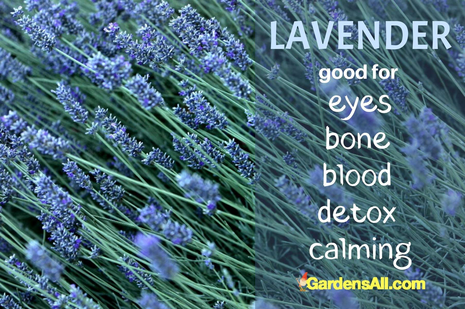 Lavender - Blooms accentuate sweet and savory dishes with a sweet mingling of floral, fresh pine and rosemary with citrus notes. English lavender varieties (L. angustifolia) have the best culinary flavor. #EdibleFlowers #AreFlowersEdible #Flowers #HealthBenefits #Lavender #Edible #Garden