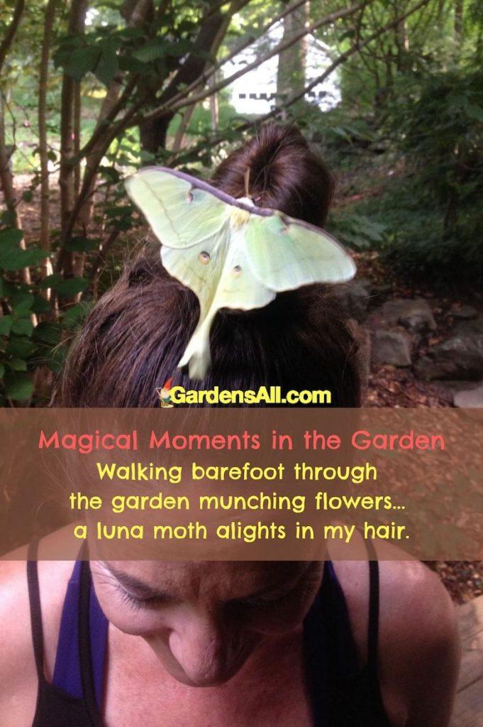 MAGICAL MOMENT IN THE GARDEN - a Luna moth landed on my hair. #LunaMoth #LunaMothLanded #MagicalMoments #GardenMeme #GardensAll