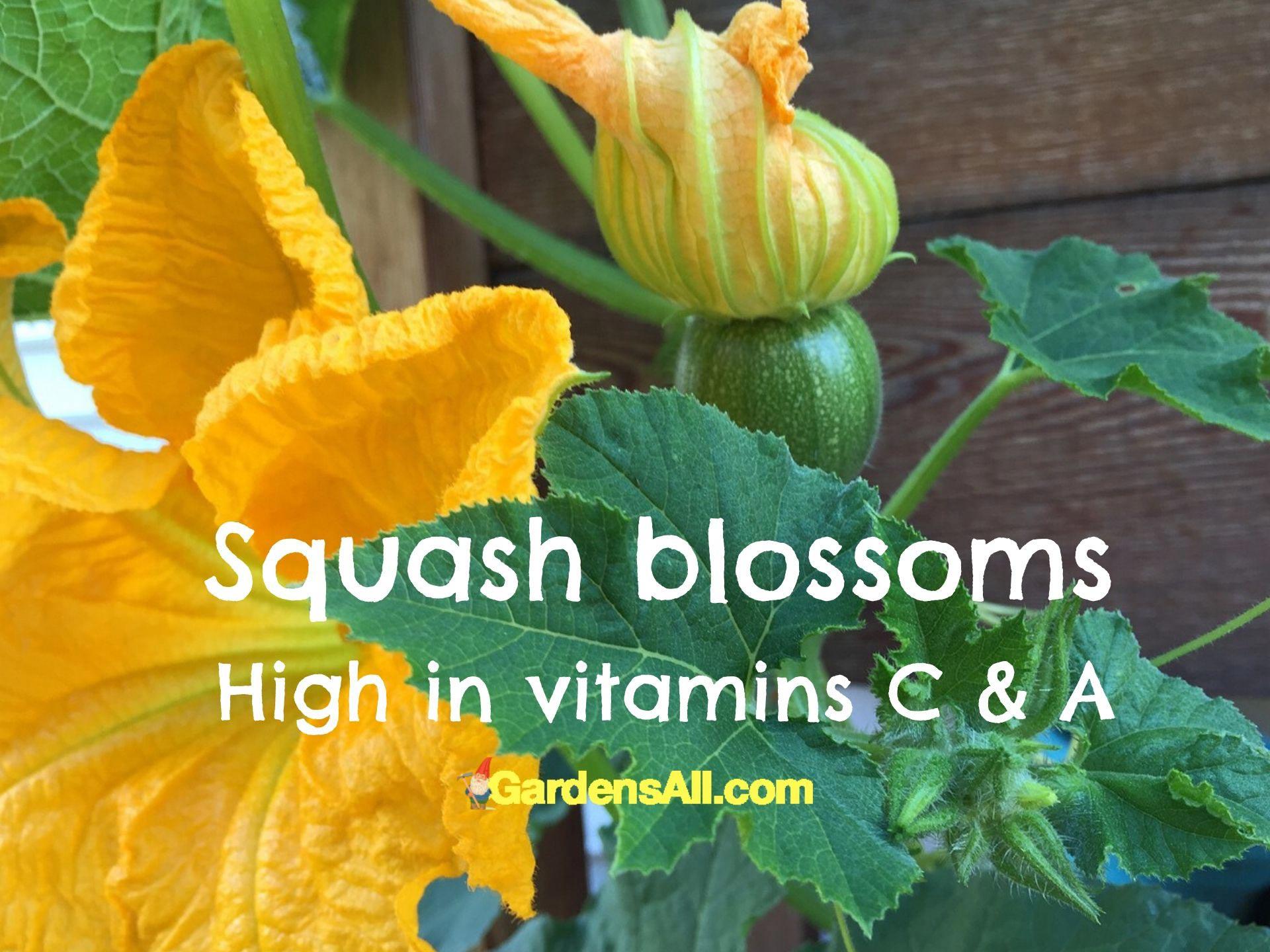 Squash Blossoms are edible flowers #EdibleFlowers #AreFlowersEdible #Flowers #HealthBenefits #Recipes #Edible #Garden