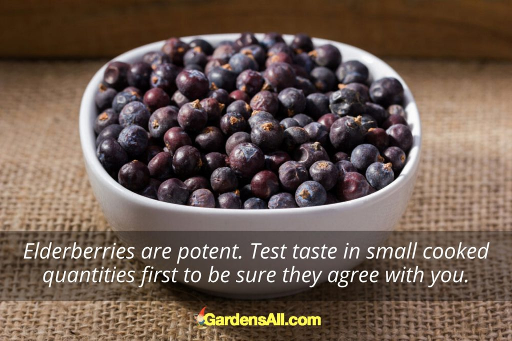The American Elderberry - Sambucus canadensis, grows wild in North America, and is a powerful immunity boosting natural food. #Elderberry #ElderberriesSyrup #ElderberriesBenefits  #Immunity #Elderberries #NaturalImmunity #Superfoods #Antioxidant