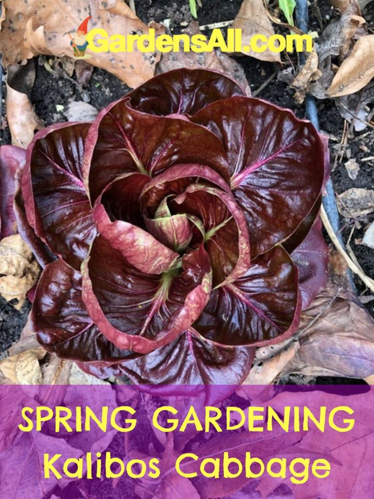 SPRING GARDENING - Kalibos Cabbage is a wonderfully textured and color spring vegetable to grow. #KalibosCabbage #Cabbage #ColorfulCabbage #RedCabbage #OrnamentalVegetables #OrnamentalCabbage #EdibleLandscape #SpringVegetables #GreenVegetables #Vegetables #SpringGardening #VegetableGarden