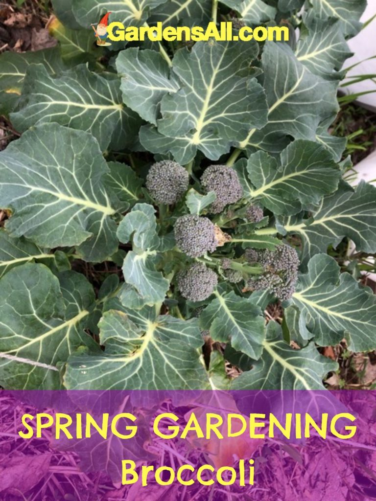 SPRING GARDENING - Broccoli: Enjoy the leaves and vegetables of this amazing cool weather vegetable. #Cruciferous #EdibleLeaves #Broccoli #SpringVegetables #GreenVegetables #Vegetables #SpringGardening #VegetableGarden