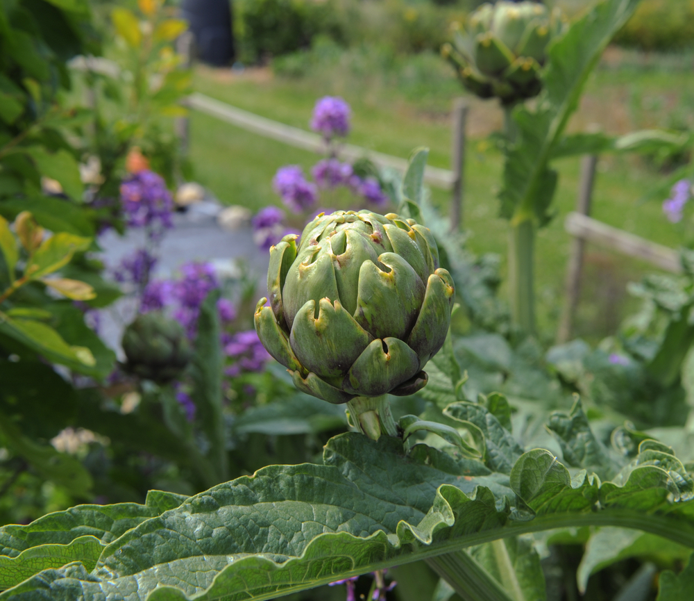 Artichoke plant in landscape - ornamental and edible. #EdibleLandscape #OrnamentalEdiblePlants #AttractiveVegetablePlants #ArtichokeBlossom