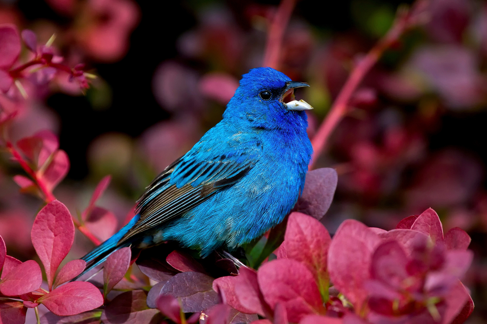 Indigo Bunting Blue Bird. Gardens bring more birds and pollinators and are healthier for your yard and neighborhood that grass, which doesn't provide as much food for animals or humans. #BlueBunting #BlueBird #GrowFoodNotLawns #LandscapeGardening